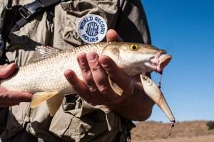 Barbo Comizo pescado a spinning con Punitor 85