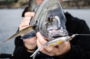 Las experiencias de pesca en el spinning ligero a los espáridos