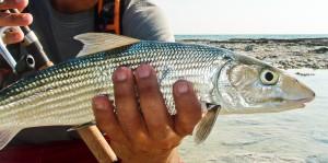 Desove del bonefish